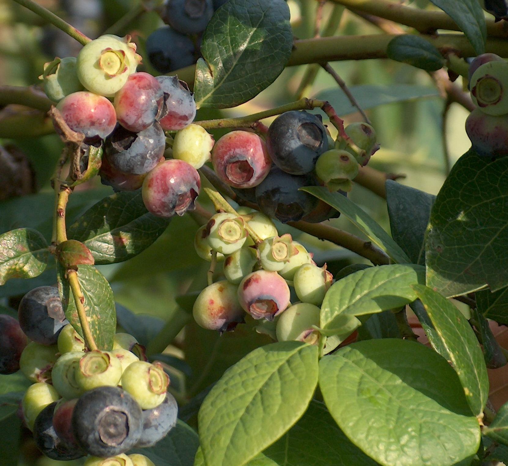 Blueberries are Burstin' Forth